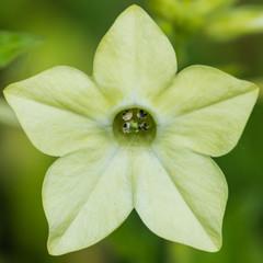 Lime Green Nicotiana