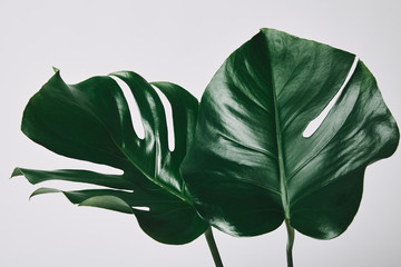 beautiful green monstera leaves isolated on white Wall mural