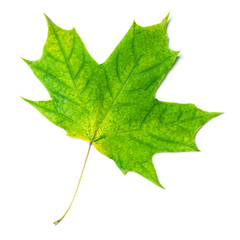 Autumn leaf. Green Autumn maple leaf isolated on a white background, close up. .