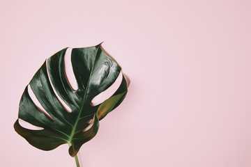 top view of green monstera leaf on pink surafce Wall mural