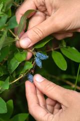 hands picking berries of honeysuckle