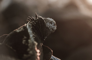 Marine iguana on rocky coastline at sunset, Galapagos Islands