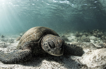 Green sea turtle (Chelonia mydas) resting on ocean floor in the Galapagos islands