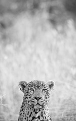 A vertical, creative black & white photograph of the head of a male leopard, Panthera pardus, peeking out at the camera against a blurred grey background at Djuma private game reserve, South Africa.