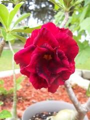 Multi hued red Desert Rose blooming