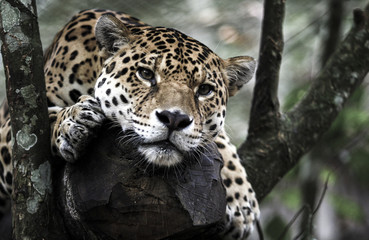 Jaguar (Panthera onca) resting on tree in jungle