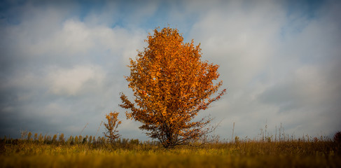 single tree of a wild pear covered with autumn foliage against the background of the sky and clouds.