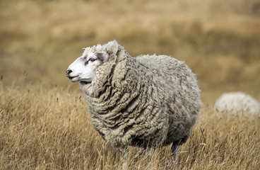 Sheep with full fleece of wool ready for summer shearing, New Zealand