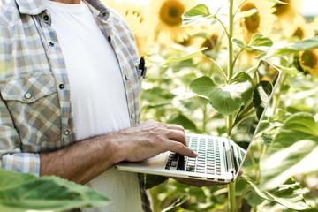 Farmer inspecting sunflower field summer sunny day