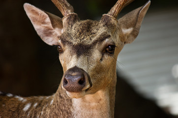 spotted deer closeup