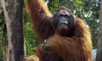 orangutang in Borneo