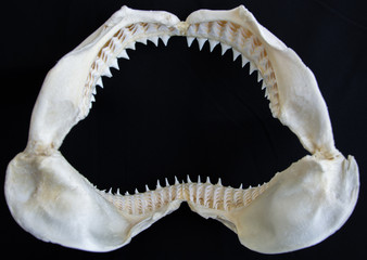 Shark jaw on black background