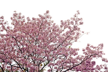 Pink trumpet tree on isolate white background