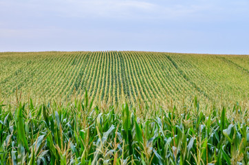Garden Poster Culture Beautiful green corn field at sunset. Selective focus.