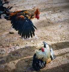 Cock fight in borneo