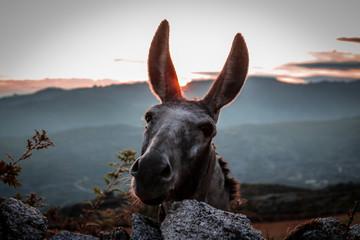 Burro no Parque Nacional Peneda-Gerês, Portugal