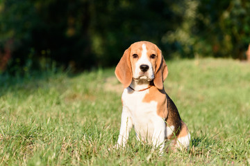 Beautiful Tricolor Puppy Of English Beagle seating On Green Grass. Beagle Is A Breed Of Small Hound, Similar In Appearance To The Much Larger Foxhound. Smiling Dog