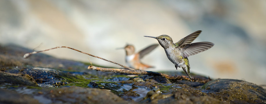Two hummingbirds (Anna's and Allen's) bathing in shallow water with moss covered rocks.