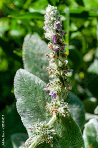 Flowers of blossoming Stachys byzantina 'Silver Carpet' (Lamb's Ear).