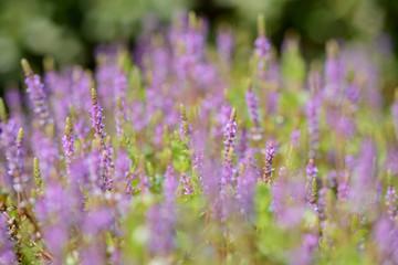 rotala rotundifolia flowers close up