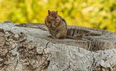 Chipmunk posing for picture on tree stump