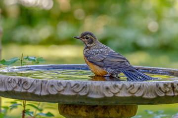 Printed roller blinds Bird Robin bathing in bird bath