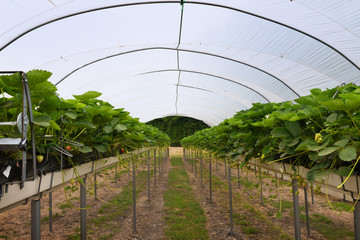 modern strawberry greenhouse with beds at standing height on shelves, automatic irrigation and fertilisation under a transparent plastic roof