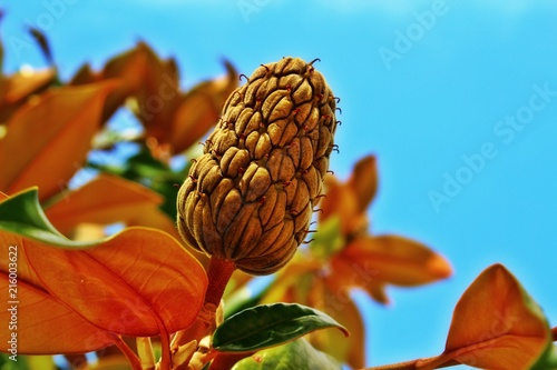 The Fruit Of The Magnolia Tree On The Blue Sky Background And The