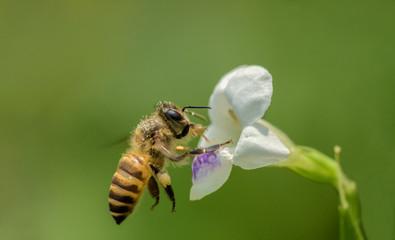 Honeybee over the flower