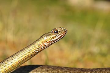 eastern montpellier snake portrait