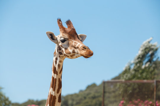 Giraffe head with long neck and furry horns on background of blue sky in exotic safari