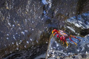 Krebse an Felsen auf Teneriffa