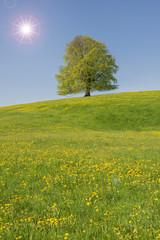 Einzelen Buche im Frühling mit Sonnenstrahlen