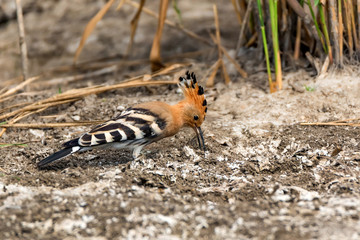 Common hoopoe or Upupa epops in steppe close