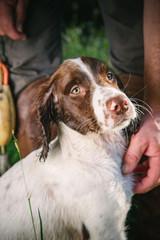 Rodney, a 12 week old English Spaniel at Tibea Gun Dogs in Lancester SC