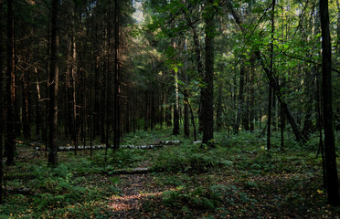 Dense forest with fallen trees, shrubs and thicket, photo with a dark, mysterious atmosphere