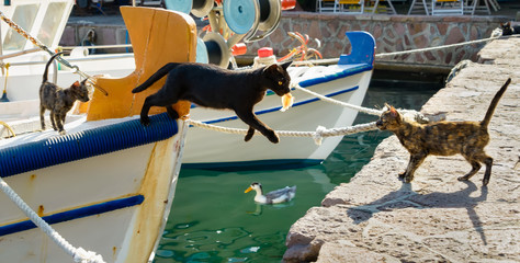 Cat with a fish in its mouth jumping out of a fishing boat, Greece