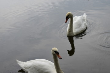 two white swans swim in the lake in the Park on a summer day