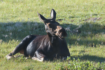 Awakening Cow Moose. Shiras Moose in the Rocky Mountains of Colorado