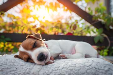 Jack russel terrier puppy sleeping on autumn terrace