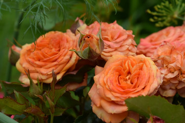 Group of orange roses in the garden
