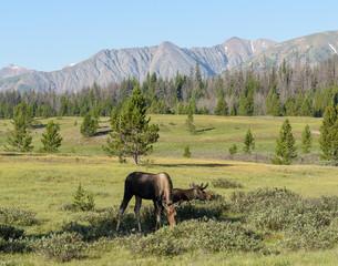 Shiras Moose in the Rocky Mountains of Colorado. Moose grazing in a mountain meadow.