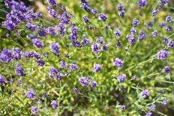 Purple lavender blossoming