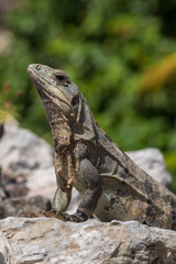 Closeup on lizard. Scaly textured skin shows patches of old skin still peeling off.