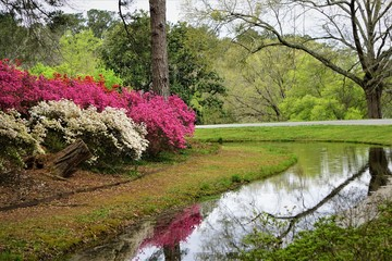 Colorful Azalea flower blooming in Callaway Gardens, Spring in GA USA.