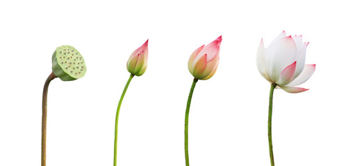 step growing lotus flower isolate on white background Fototapete
