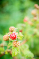 Branch with ripe raspberry in the garden. Selective focus. Shallow depth of field.