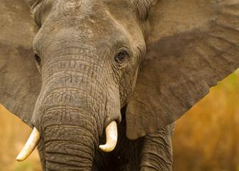 Elefante africano nella savana della Tanzania