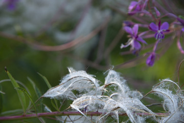FLOWERS -   willow-herb blossoms