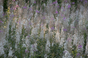 FLOWERS -  willow-herb blossoms;